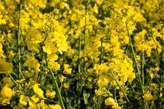Oilseed rape on the field Stock Image