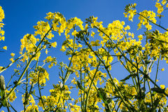Oilseed rape on the field Royalty Free Stock Photography