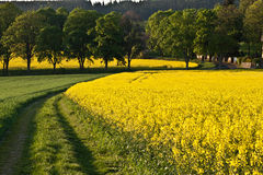 Oilseed rape field Stock Photos