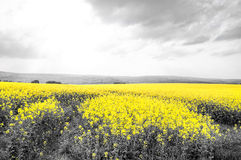 Oilseed Rape Fields Royalty Free Stock Images