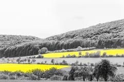 Oilseed Rape Fields Stock Image