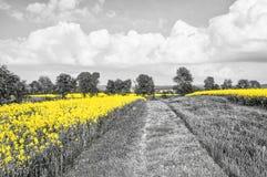 Oilseed Rape Fields Royalty Free Stock Photos