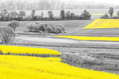 Oilseed Rape Fields Royalty Free Stock Photo