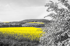 Oilseed Rape Fields Royalty Free Stock Photography