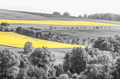 Oilseed Rape Fields Stock Photography
