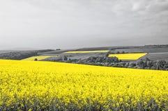 Oilseed Rape Fields Stock Photo