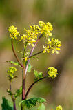 Oilseed rape flower Royalty Free Stock Photography