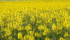 Oilseed Rape flowers Stock Images