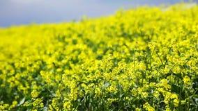 Oilseed flowers swinging on wind, closeup stock video