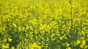Oilseed flowers swinging on wind, closeup stock video footage