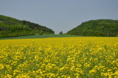 Oilseed Rape. Near Tišnova in The Czech Republic Royalty Free Stock Photo
