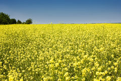 Oilseed royalty free stock images