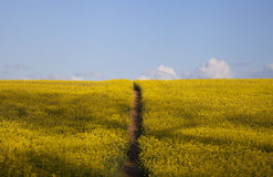 Oilseed Rape with path Royalty Free Stock Photos