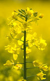 Oilseed rape plant closeup Stock Photography