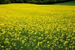 Oilseed rape plants Royalty Free Stock Photography