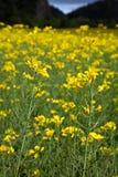 Oilseed rape plants Royalty Free Stock Images