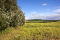 Oilseed and poplar trees Royalty Free Stock Images
