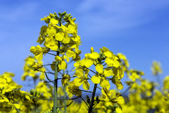 Oilseed - Seed Oil - Farming Royalty Free Stock Photos