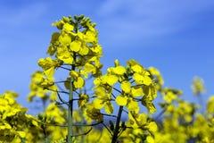 Oilseed Rape - Rape Seed Oil - Farming Royalty Free Stock Photos