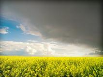Oilseed rape, storm Stock Image