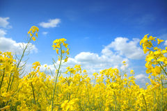 Oilseed Rape. Is very popular plant nowadays Stock Image