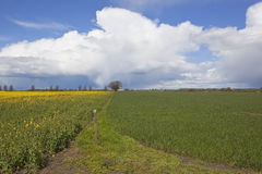 Oilseed rape and wheat crops under a dramatic sky Stock Photography