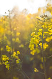 Oilseed rape Stock Photography