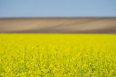 Oilseed rape yellow flowers with uncultivated fien in background. And blue sky above Stock Photography