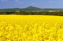 Oilseed Rapes Stock Photos