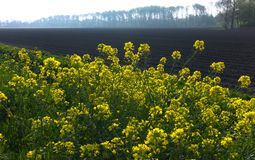 Oilseed rapeseed field in spring Royalty Free Stock Images