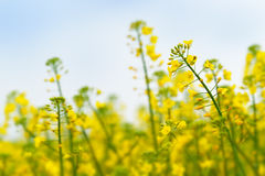 Oilseed Rapeseed Flower Close up in Cultivated Agricultural Field Royalty Free Stock Photo