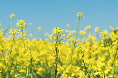 Oilseed rapeseed flowers. In cultivated agricultural field Royalty Free Stock Images