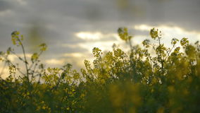 Oilseed Rapeseed Flowers in Cultivated Agricultural Field, Crop Protection Agrotech Concept stock video footage