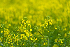 Oilseed Rapseed Flower Close up in Cultivated Agricultural Field. Selective Focus with Shallow Depth of Field, Crop Protection Agrotech Concept Royalty Free Stock Image