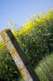 Oilseeden våldtar 5 Royaltyfria Bilder