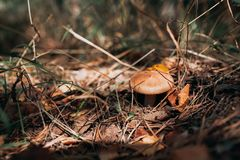 Oily mushroom grows in the forest. Oily mushroom grows in autumn forest Royalty Free Stock Photo