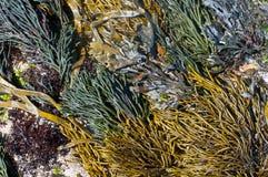 Oin drammatico Galizia, Spagna della comunit? dell'alga. Immagini Stock Libere da Diritti