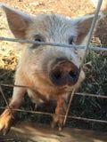 Oink Oink zdjęcie stock