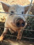 Oink Oink. Pig, Dirty, Wire Fence, Farm, Dirt, Weeds Stock Photo