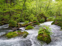 Oirase gorge in fresh green, Aomori, Japan Royalty Free Stock Image