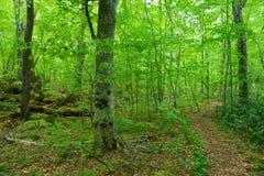Oirase gorge in fresh green, Aomori, Japan Royalty Free Stock Image