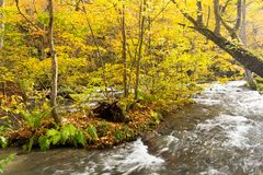 Oirase Gorge Stream in Autumn Red royalty free stock image