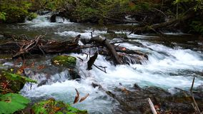 Oirase Mountain Stream flow over rocks that covered with green moss and colorful falling leaves in autumn season