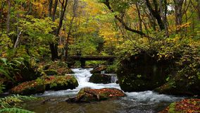 Oirase Mountain Stream flow pass the small wooden bridge at Oirase Walking Trail in the colorful autumn forest