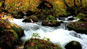 Oirase mountain stream flow passing rocks in the colorful forest of autumn season in Oirase Gorge.