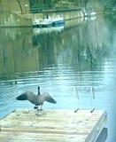 Oiseau à ailes dessus sur le dock Photos stock