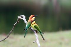 oiseau à tête de châtaigne d'Abeille-mangeur Images stock