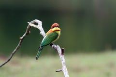 oiseau à tête de châtaigne d'Abeille-mangeur Photos stock