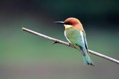 oiseau à tête de châtaigne d'Abeille-mangeur Photo libre de droits