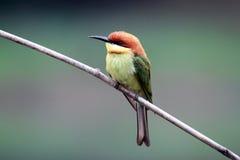 oiseau à tête de châtaigne d'Abeille-mangeur Photos libres de droits